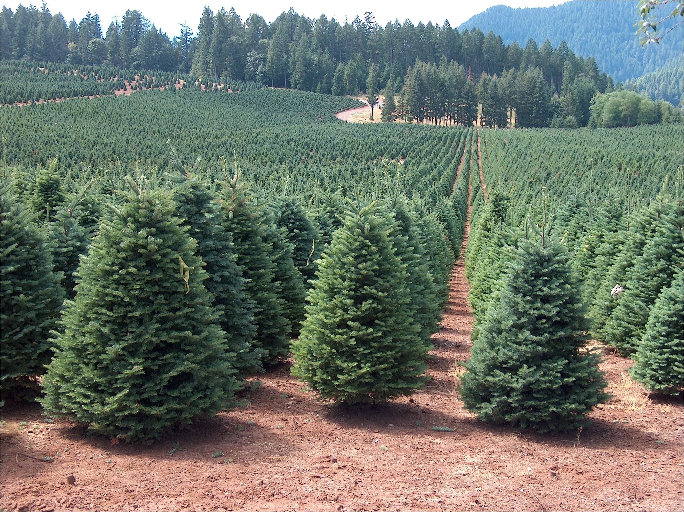 christmas tree farm near me 2017