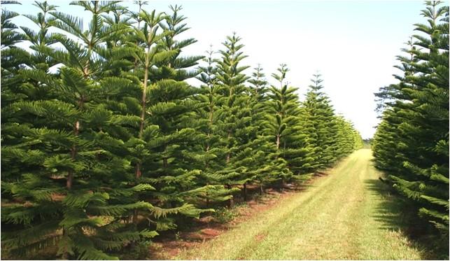 local christmas tree farm 2017