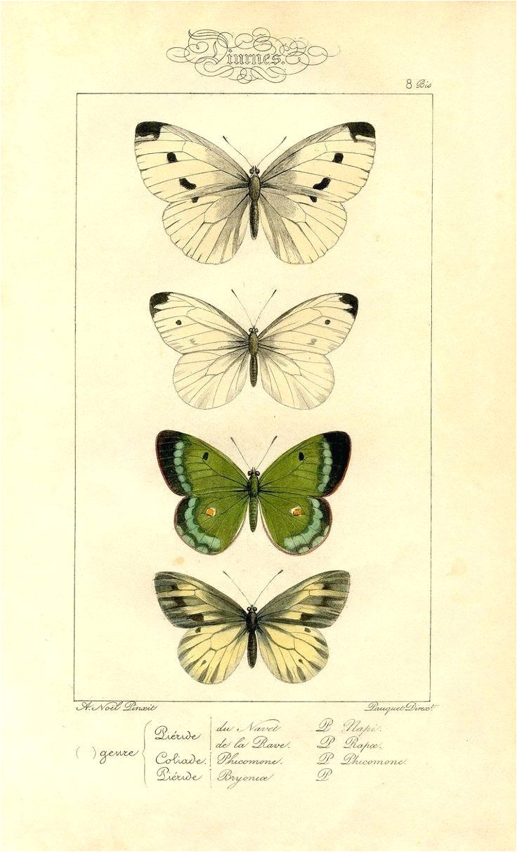 butterfly key template natural history printable image moths butterflies woodworking
