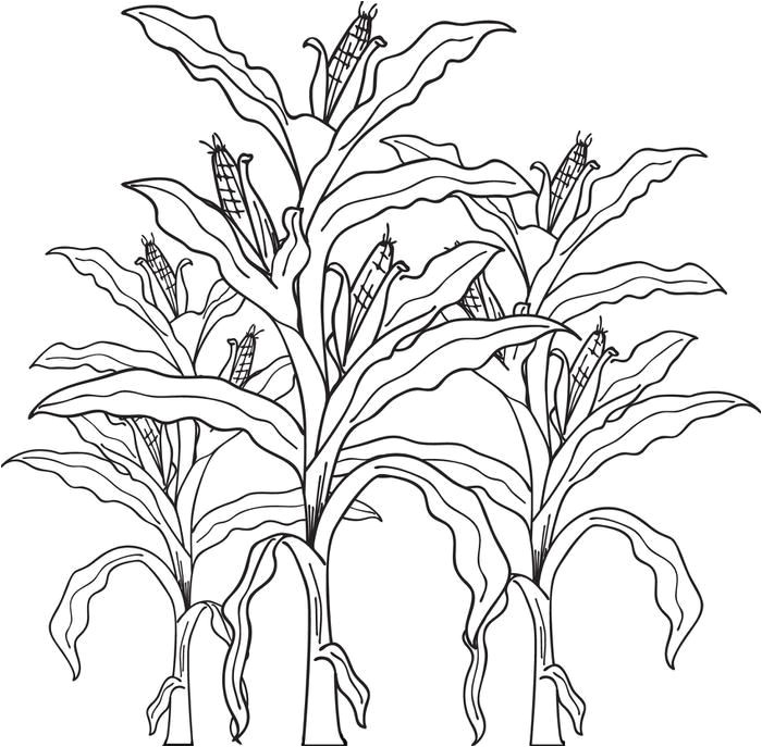 Corn Stalk Template Free Printable Corn Stalks Fall Coloring Page for Kids