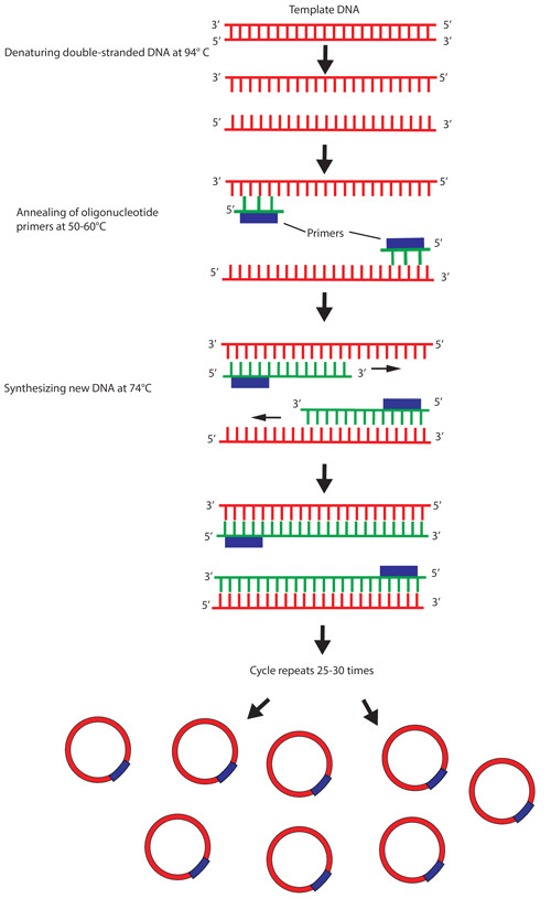How Much Template Dna for Pcr Addgene What is Polymerase Chain Reaction Pcr
