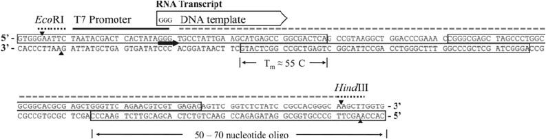 How Much Template Dna for Pcr Pcr Template Amount Free Template Design