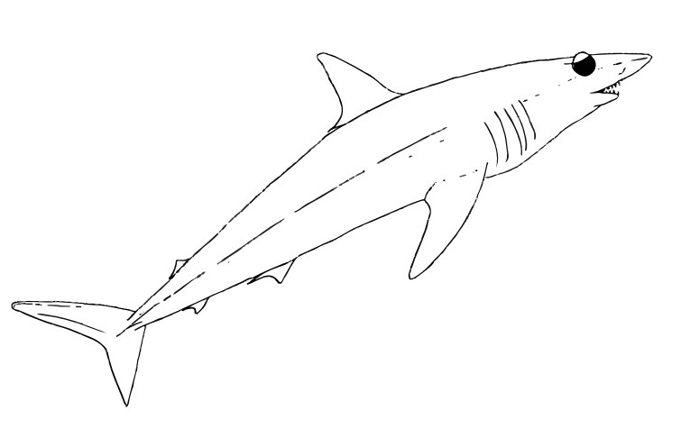 mako shark pages sketch templates
