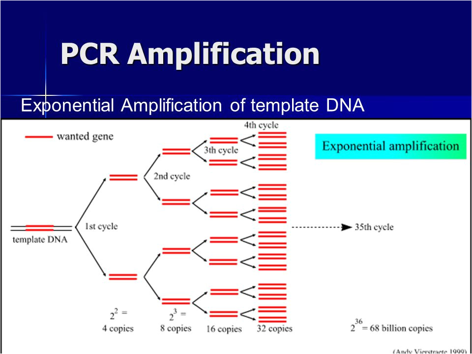 Pcr Template Amount Polymerase Chain Reaction Pcr Ppt Video Online Download