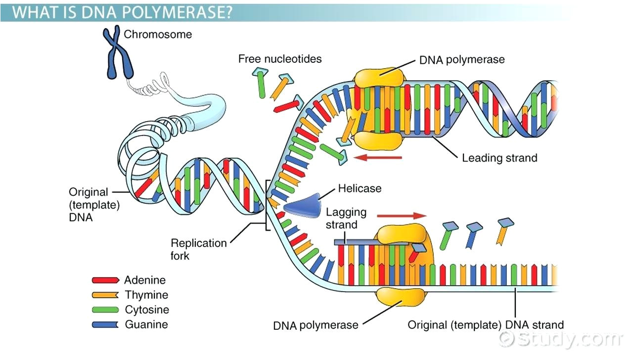 What is A Template In Dna Diagram Dna Replication Diagram Worksheet