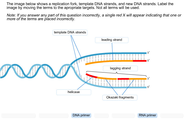 What is A Template In Dna solved the Image Below Shows A Replication fork Template