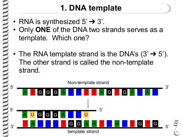What is A Template Strand the Flow Of Genetic Information Flashcards Easy Notecards