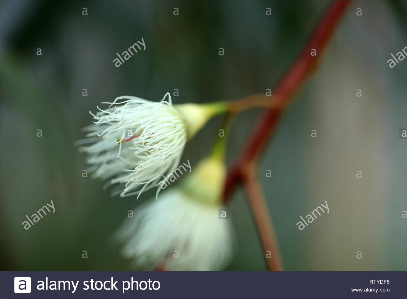 eucalyptus tree blossom rtydf6 jpg