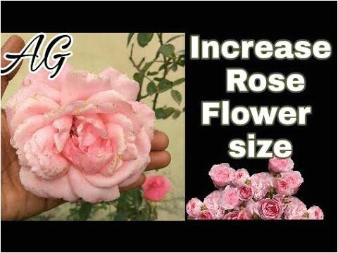 26 inspirational rose flower kaise
