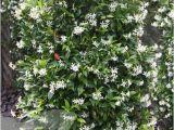Jasmine Star Email Templates Buy Star Jasmine Trachelospermum Jasminoides 29 99
