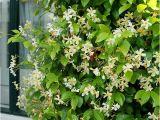 Jasmine Star Email Templates Buy Yellow Star Jasmine Trachelospermum Jasminoides Star