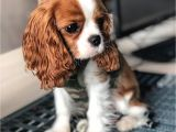 King Charles Spaniel Anniversary Card 10050 Best Cavalier King Charles Spaniel Images In 2020