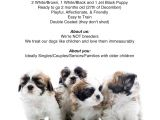 Puppy for Sale Flyer Templates Shih Tzu Puppies for Sale Flyer Info