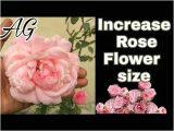 Shaadi Ke Card Se Flower Kaise Banaye 26 Inspirational Rose Flower Kaise Banaye