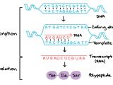 What is A Template In Dna What Strand Of Dna is Used to Make A Complementary Copy or