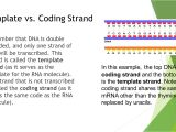 What is A Template Strand Lesson 3 Gene Expression Ppt Video Online Download